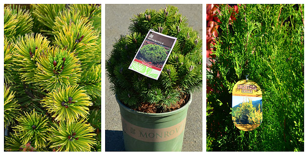 3 Great conifers for containers
