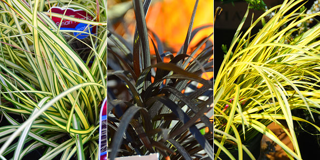 3 cool season grasses for containers