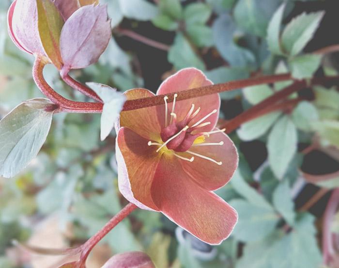 Hellebore Love Bug
