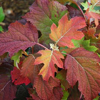 Oakleaf Hydrangea Fall Colour