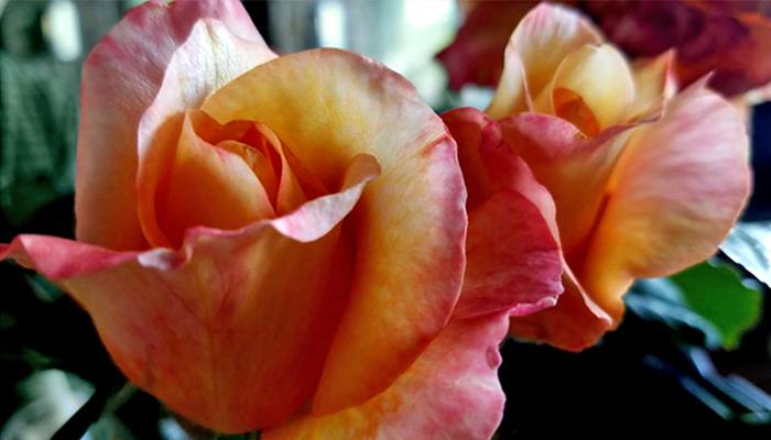 Rosa 'Diane Loomer'