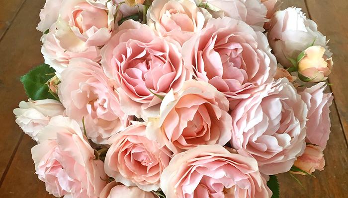 Rosa 'Dylan'