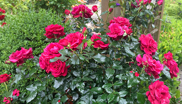 Rosa 'Our Anniversary'