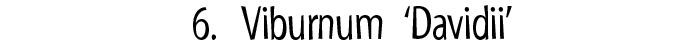 Viburnum Davidii Banner