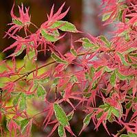 Beni Shichihenge Japanese Maple