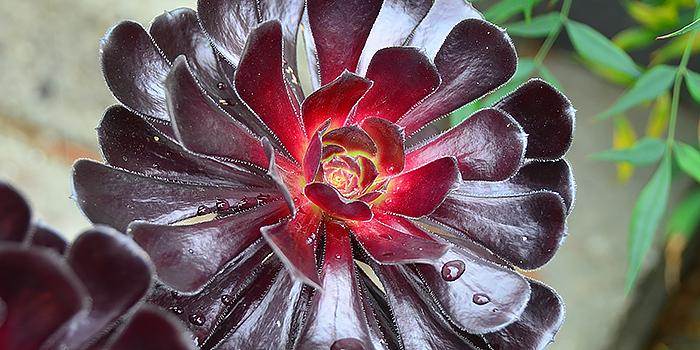 Zwartkop Aeonium