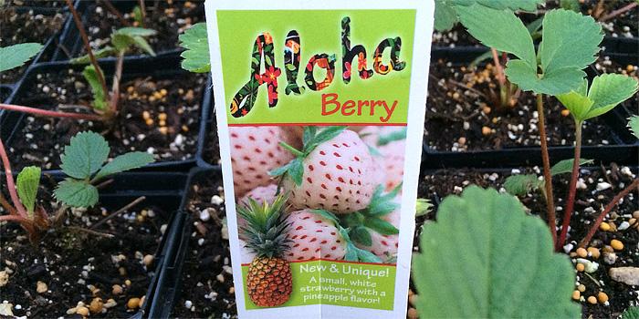 Aloha Berry, Pineberry