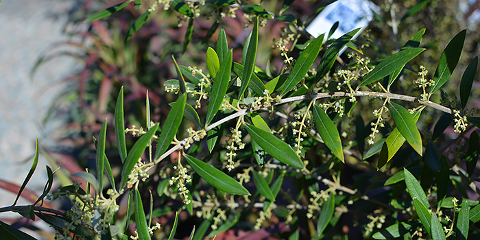 Arbequina Hardy Olive