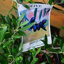 Arbequina Spanish Olive