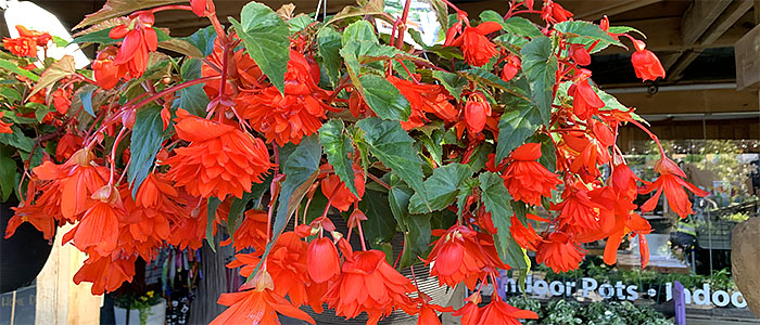 Begonia Basket for Shade
