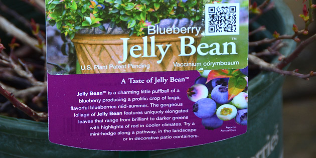 blueberry jelly bean - brazel berry collection