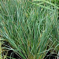 blue oat grass