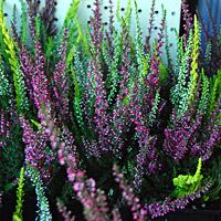 Bud Blooming Heathers