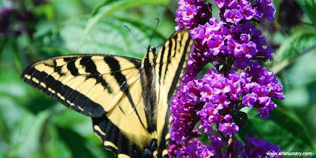 Butterfly Bush and Butterfly
