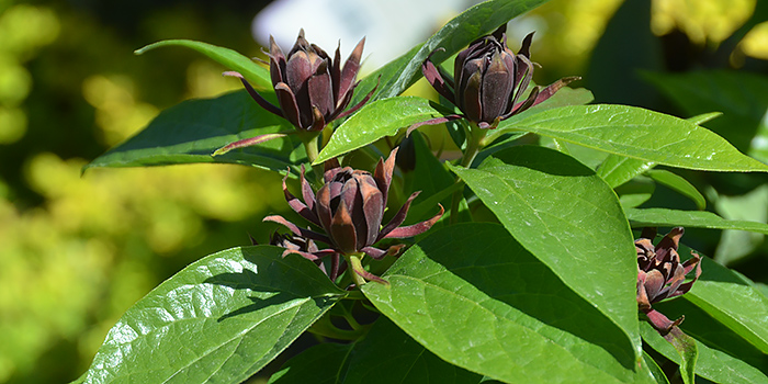 Carolina AllSpice Bush