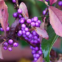 beauty berry