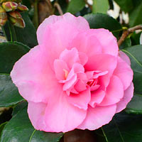 Marge Miller Weeping Camellia
