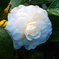 nuccios gem camellia
