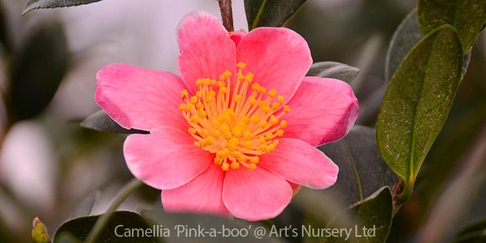 new plants at arts - camellia pink a boo