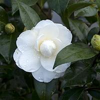 swan lake camellia