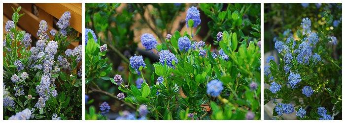 California Lilac | Ceanothus