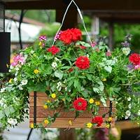 Cedar Hanging Basket