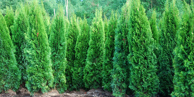 Hedging Cedars