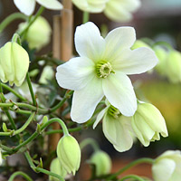 Avalanche Clematis