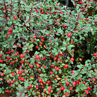Gray Leaved Cotoneaster