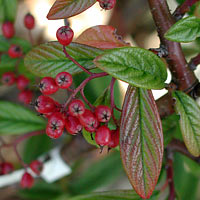 willow leaved cotoneaster