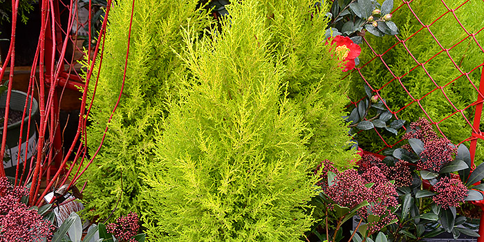 Wilmas Goldcrest Cypress