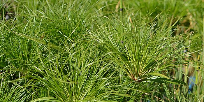Dwary Papyrus Plant