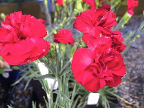 Dianthus | Carnation