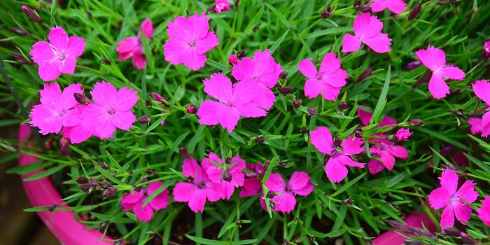 Dianthus Kahori Pink