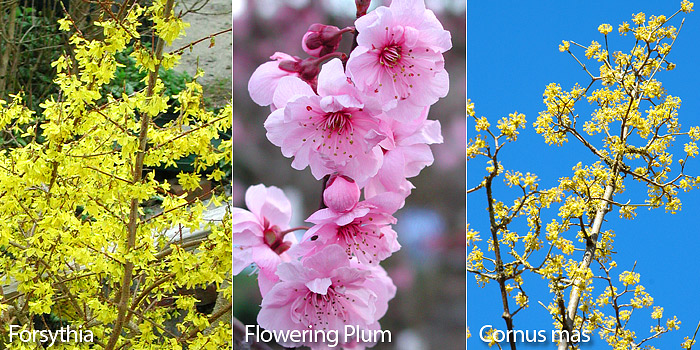 early blooming shrubs