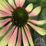 echinacea green envy
