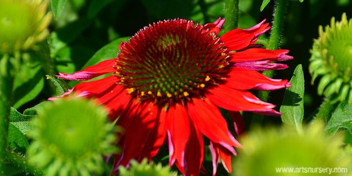 Echinacea Salsa Red Sombrero