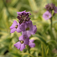 erysimum linifolium sissinghurst variegated