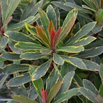 Euphorbia Helenas Blush