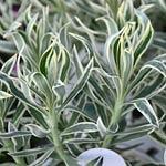 Euphorbia Tasmanian Tiger