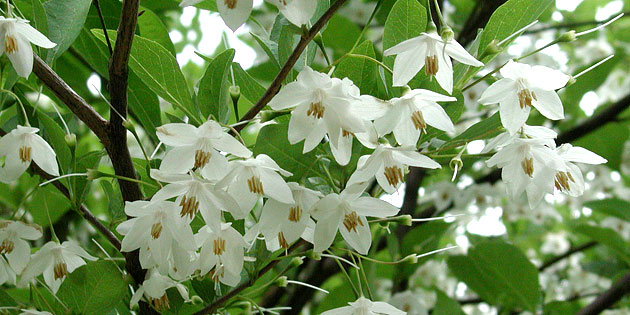 Japanese Snowbell Tree - Syrax japonica