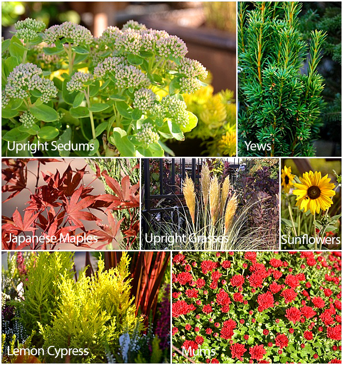 Great Plants for Fall Planters - Thrillers