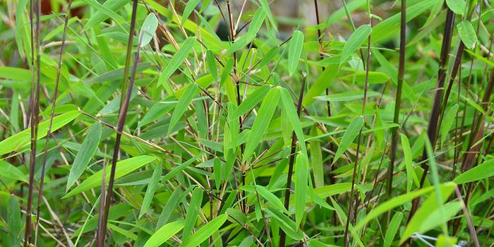 Fargesia nitida Juizhaigou | Red Clumping Bamboo