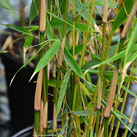 Ping Wu Bamboo