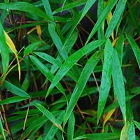 Scabrida Bamboo
