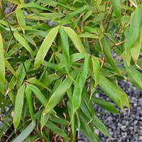 Wolong Bamboo