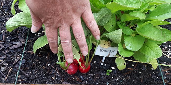 Radish In The Garden