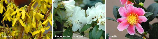 forsythia, rhododendron snow lady, camellia