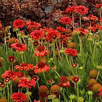 Red Sun Gaillardia