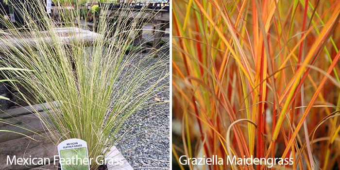 Ornamental Grasses 4